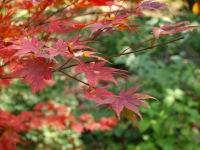 紅葉も色づく